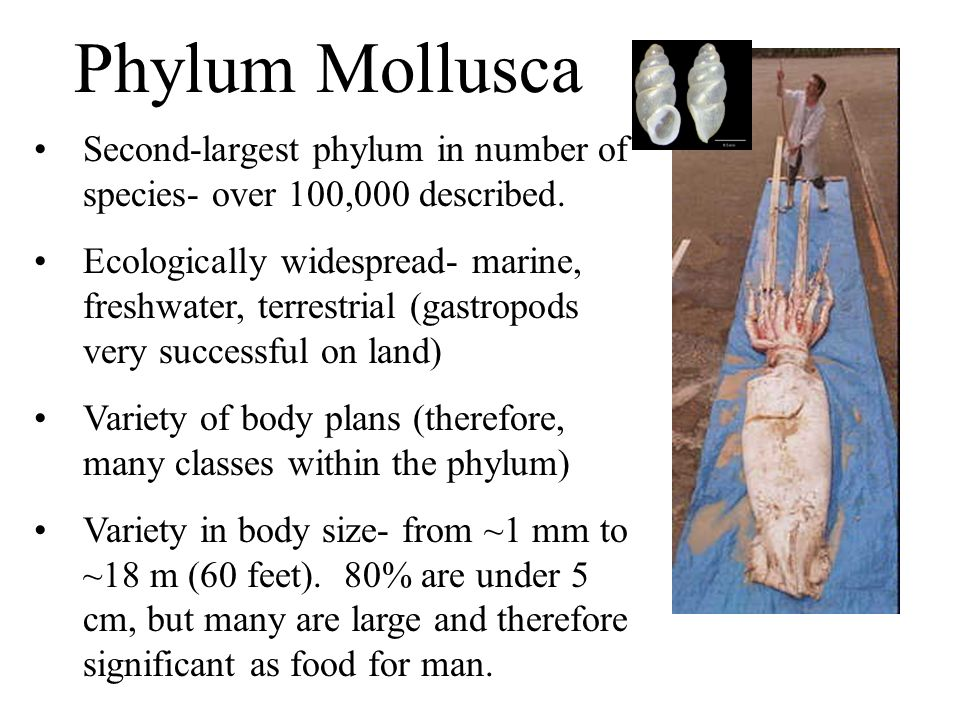 Phylum Mollusca Second-largest phylum in number of species- over 100,000 described.