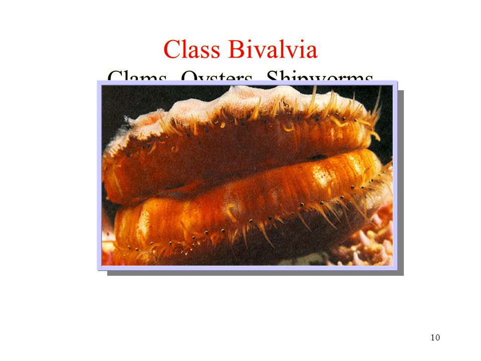 Class Bivalvia Clams, Oysters, Shipworms