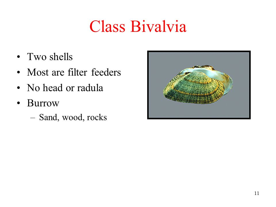 Class Bivalvia Two shells Most are filter feeders No head or radula