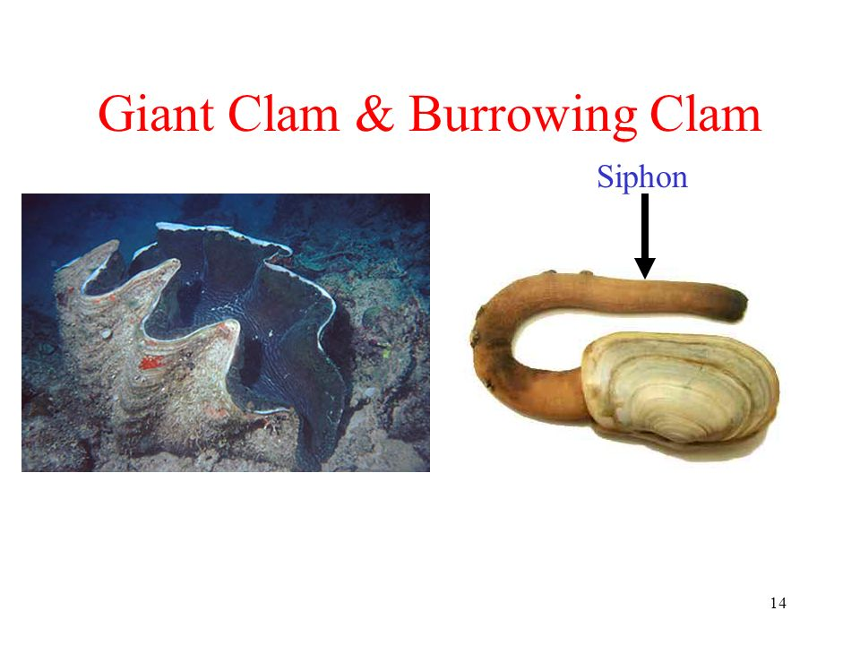 Giant Clam & Burrowing Clam