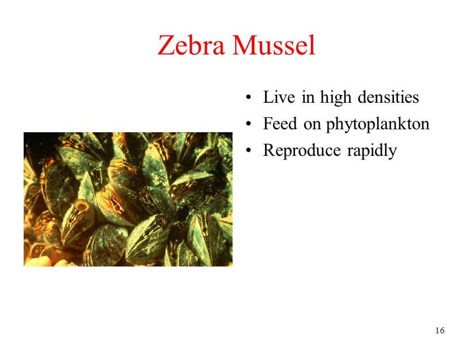 Zebra Mussel Live in high densities Feed on phytoplankton
