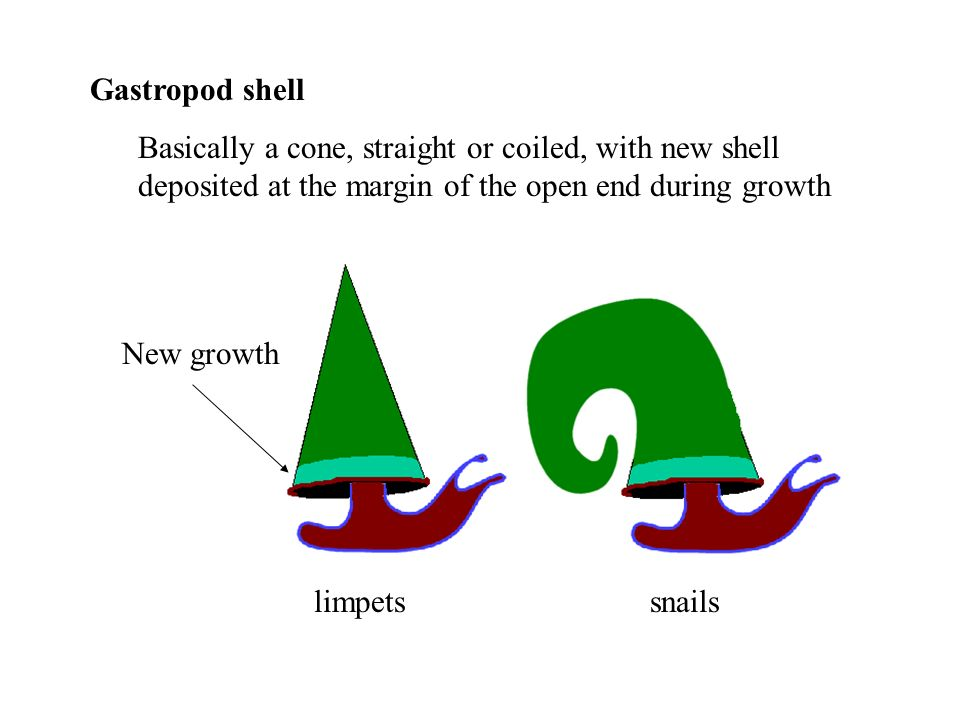 Gastropod shell Basically a cone, straight or coiled, with new shell deposited at the margin of the open end during growth.