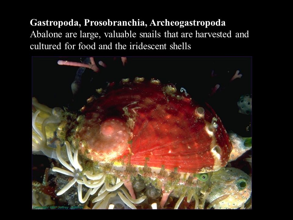 Gastropoda, Prosobranchia, Archeogastropoda Abalone are large, valuable snails that are harvested and cultured for food and the iridescent shells