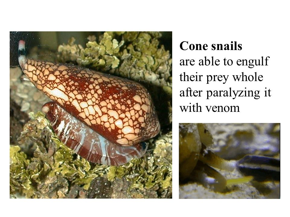 Cone snails are able to engulf their prey whole after paralyzing it with venom
