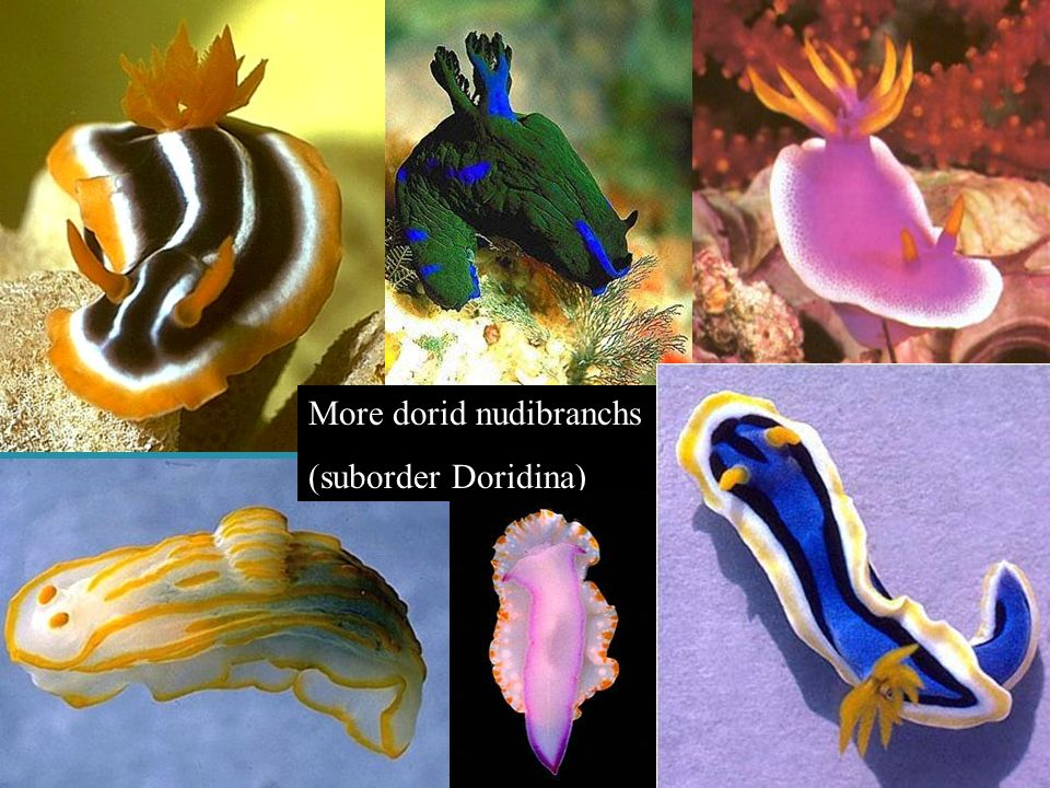 More dorid nudibranchs