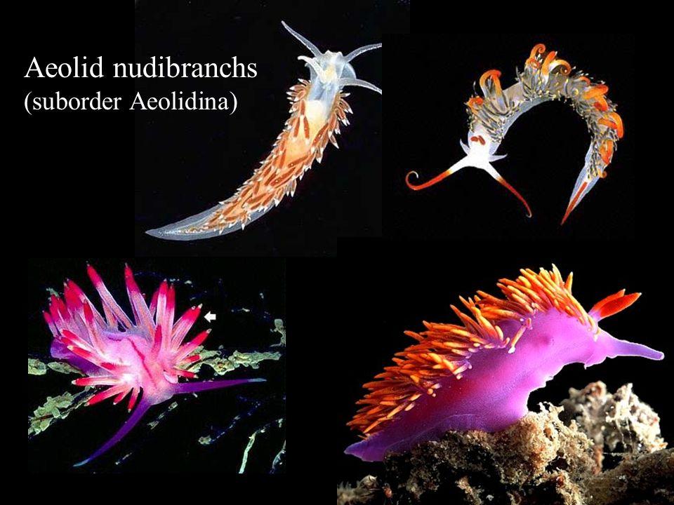 Aeolid nudibranchs (suborder Aeolidina)