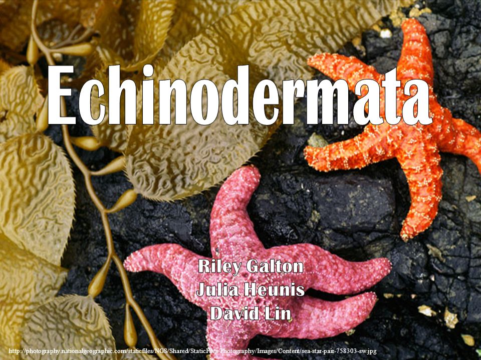 Echinodermata Riley Galton Julia Heunis David Lin