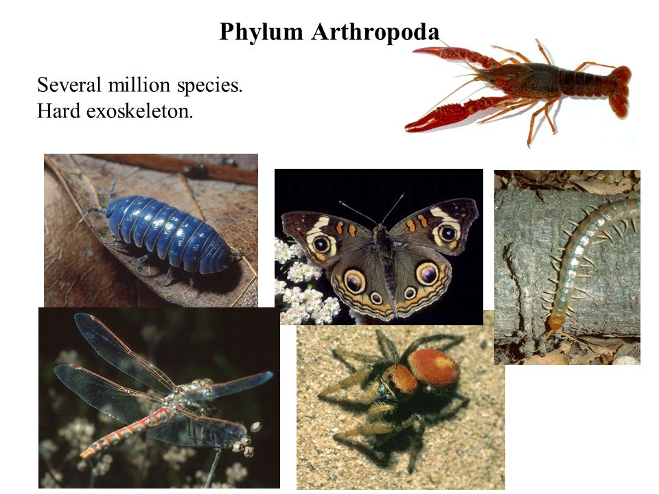 Phylum Arthropoda Several million species. Hard exoskeleton.