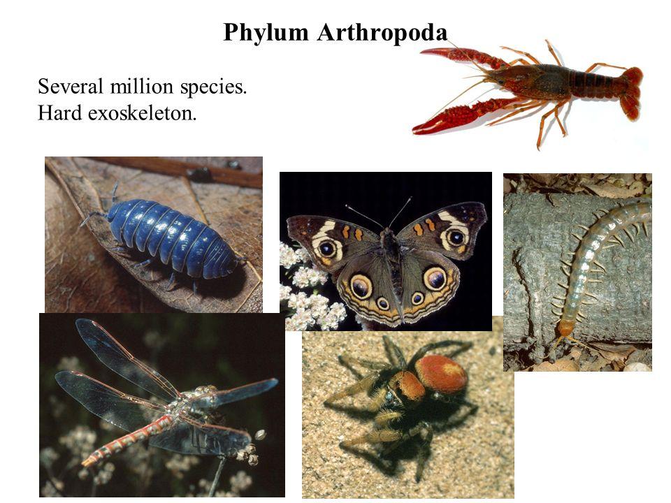 Phylum Arthropoda Several million species. Hard exoskeleton.