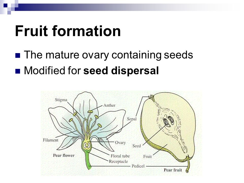 Fruit formation The mature ovary containing seeds