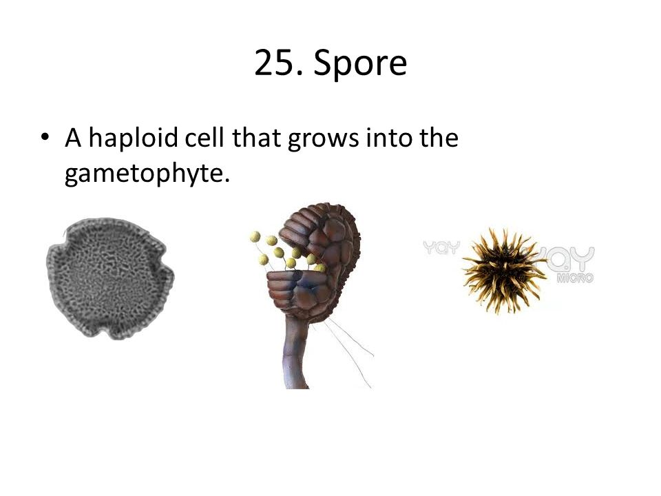 25. Spore A haploid cell that grows into the gametophyte.
