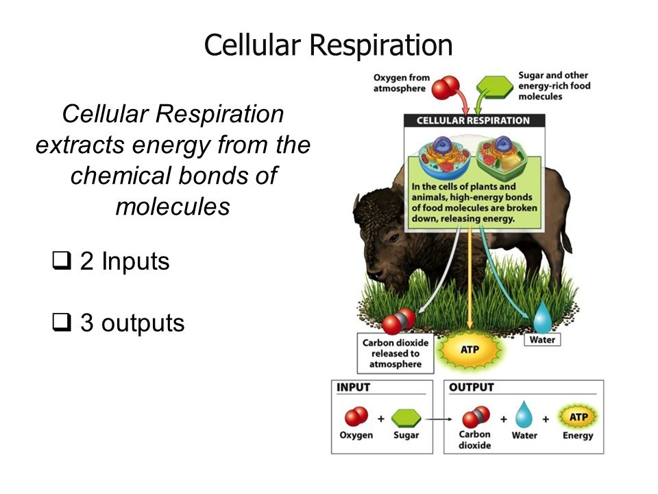 zoo respiration Plants - back to basics why are plants important plant structures - from the bottom up plant life processes - making food and using energy (respiration.