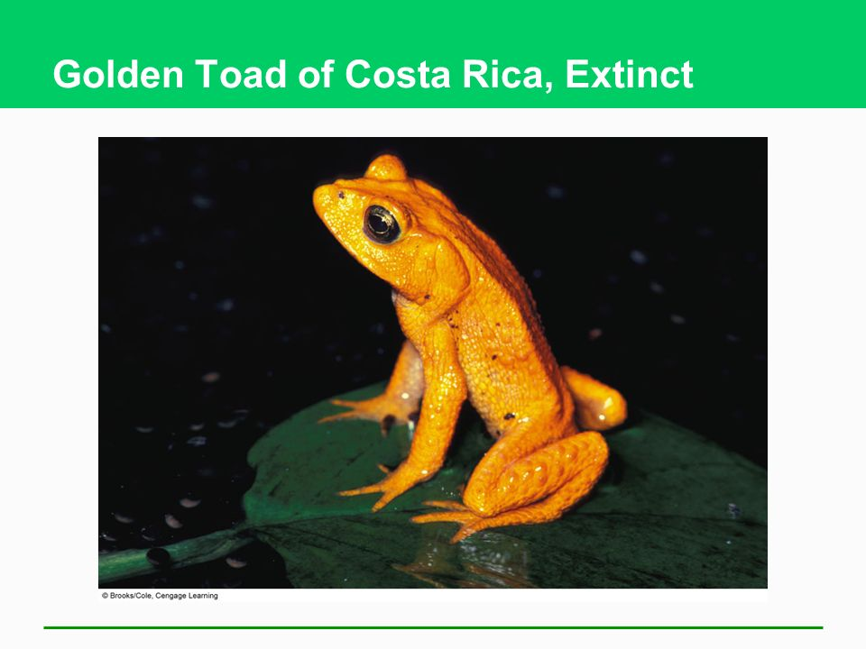 Golden Toad of Costa Rica, Extinct