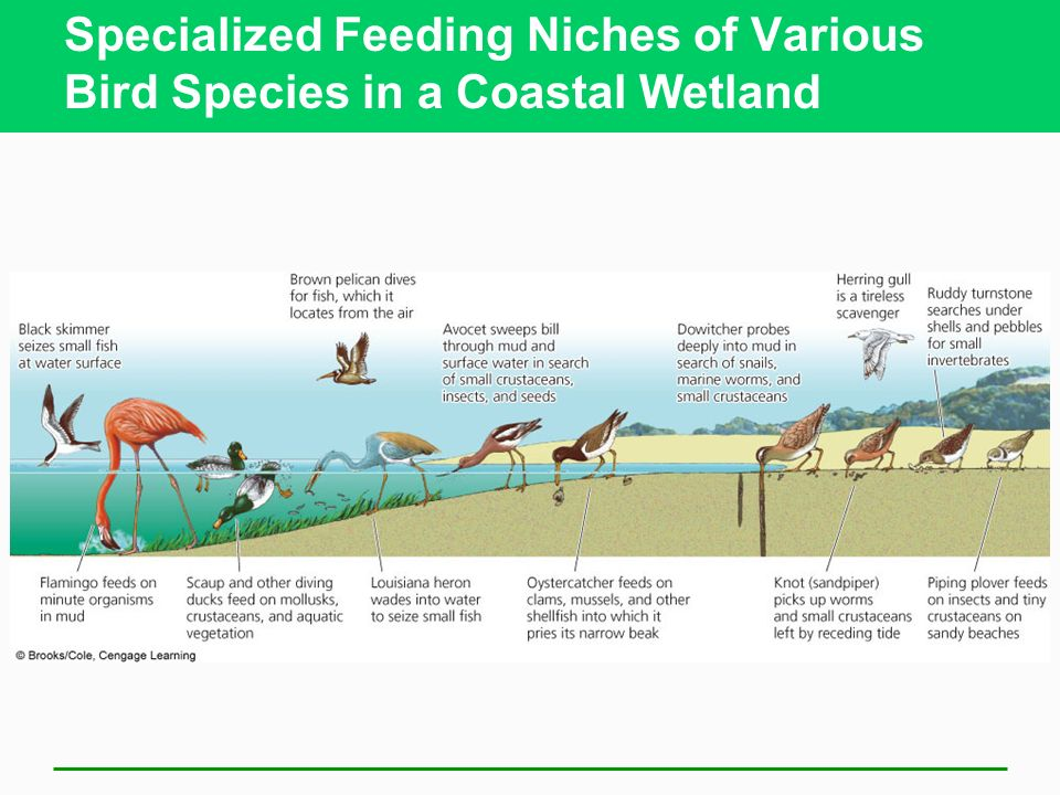 Specialized Feeding Niches of Various Bird Species in a Coastal Wetland