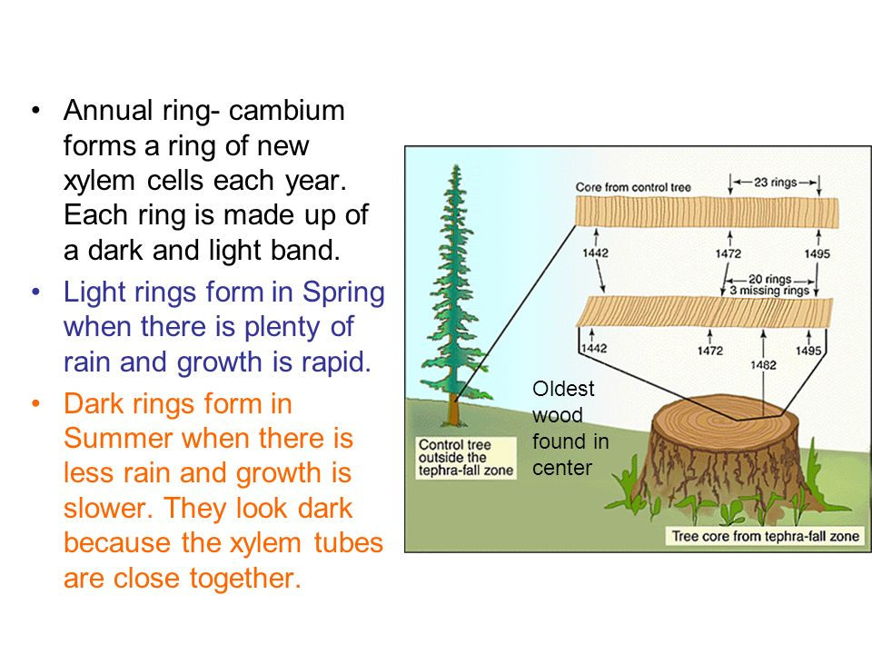 How do tree rings form dolapgnetband how do tree rings form ccuart Images