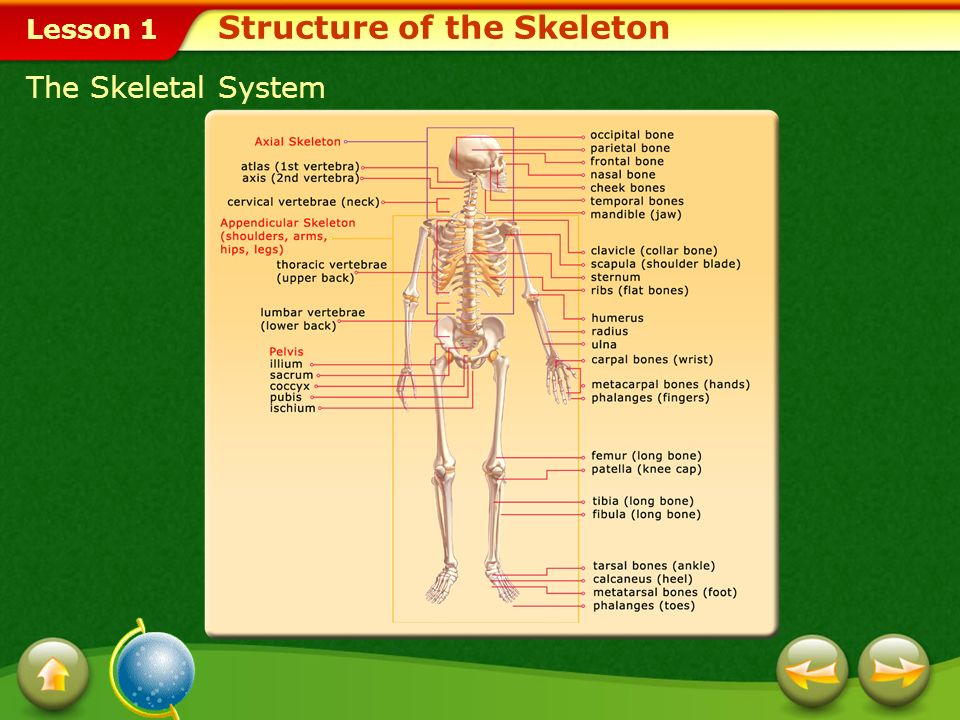 Structure of the Skeleton