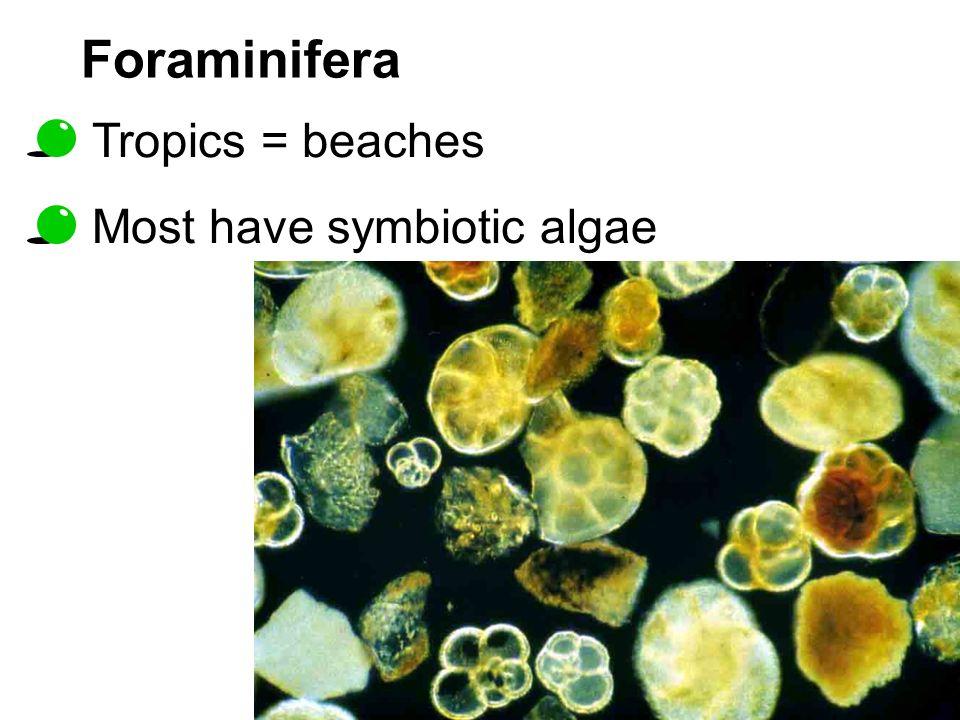 Foraminifera Tropics = beaches Most have symbiotic algae