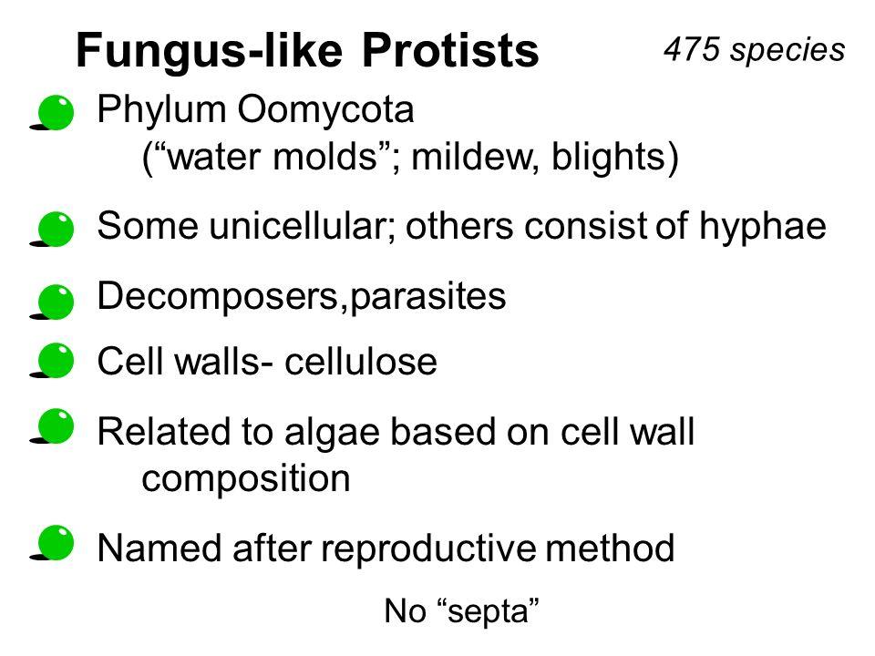 Fungus-like Protists Phylum Oomycota ( water molds ; mildew, blights)