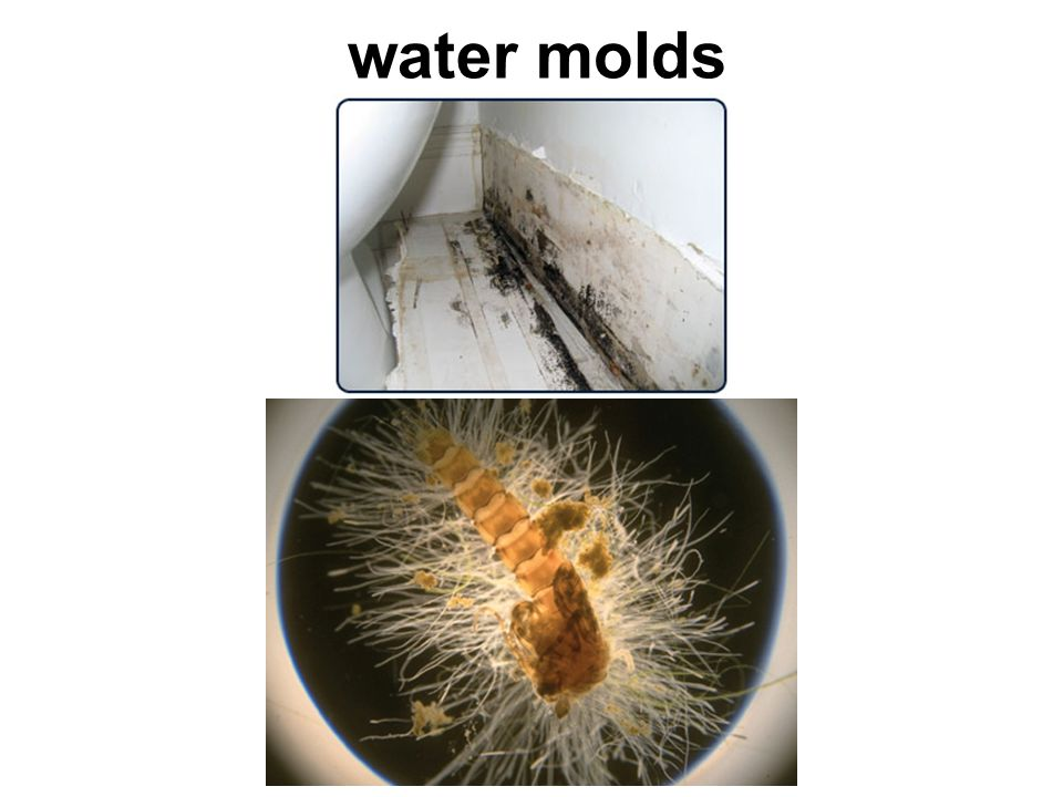 water molds