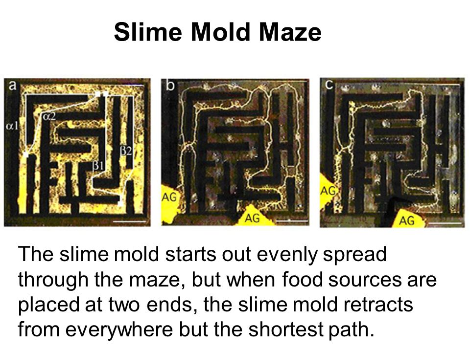 Slime Mold Maze