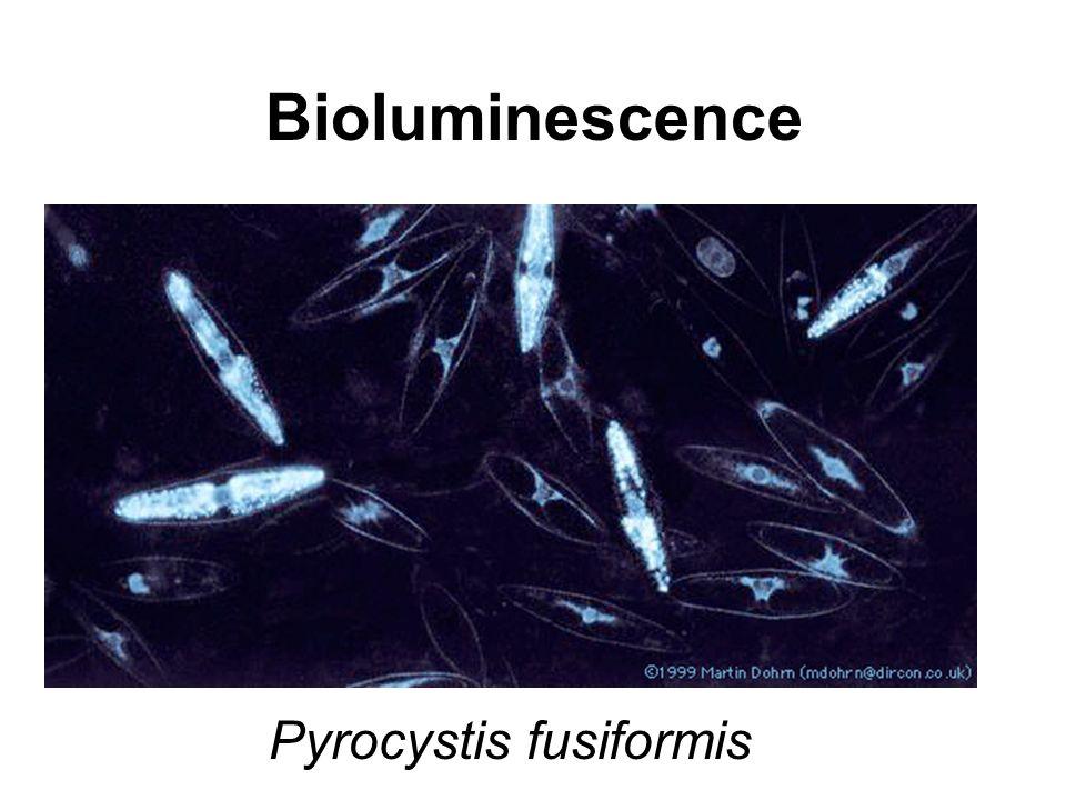 Bioluminescence Pyrocystis fusiformis