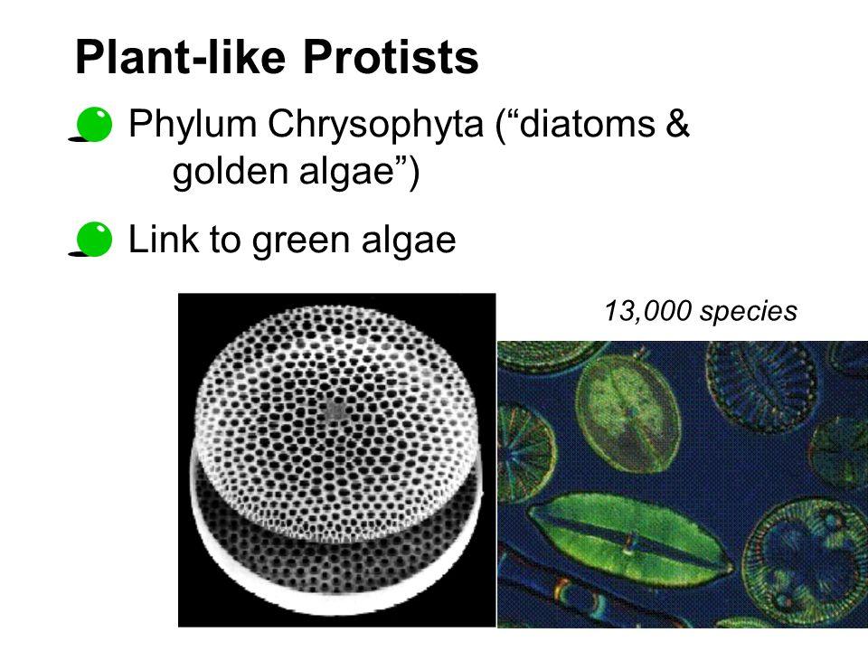 Plant-like Protists Phylum Chrysophyta ( diatoms & golden algae )