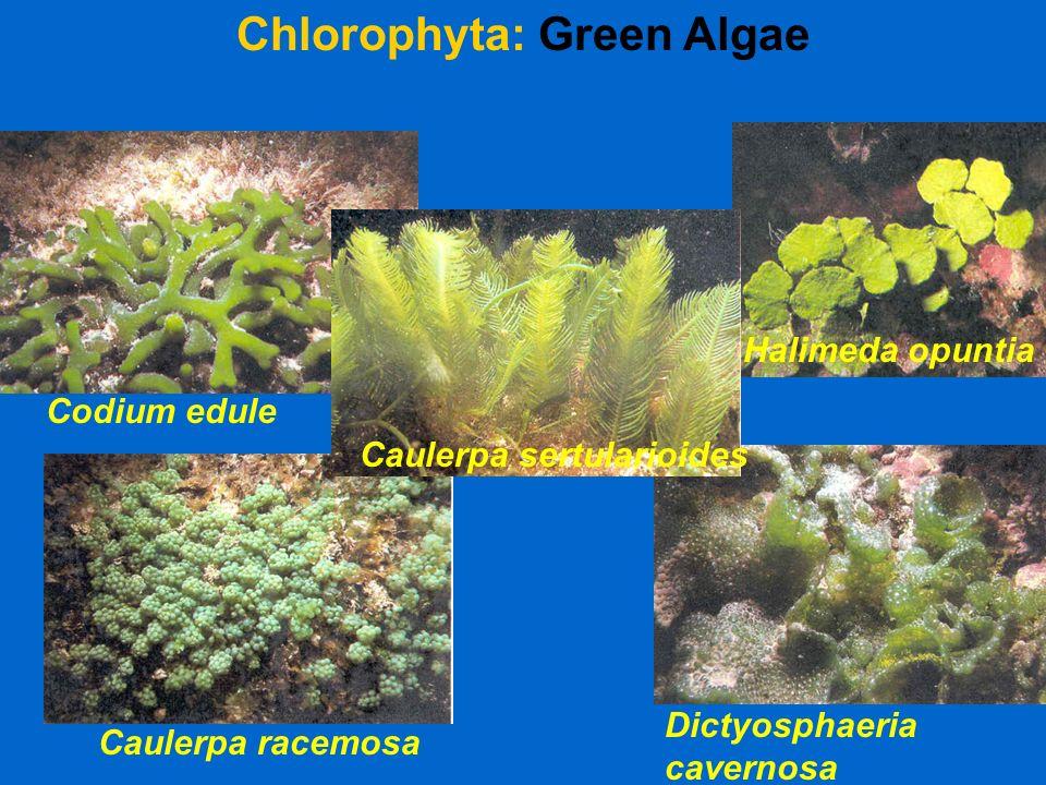 Chlorophyta: Green Algae