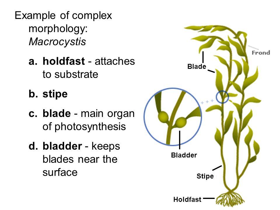 Example of complex morphology: Macrocystis