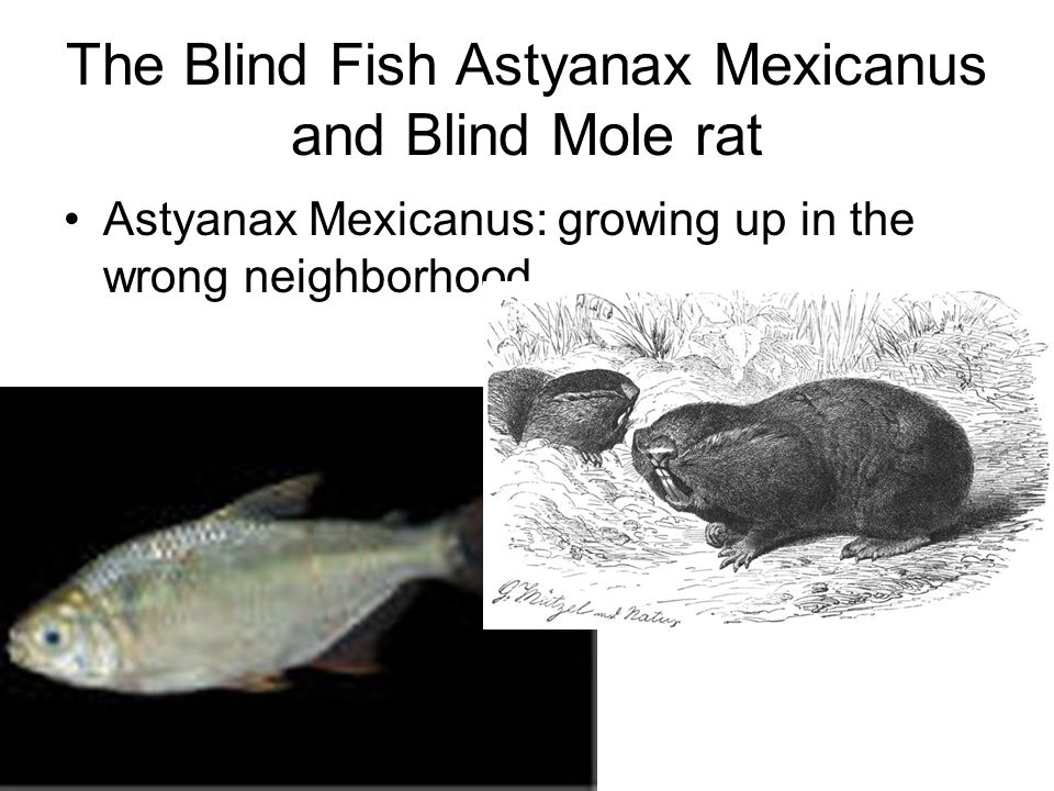 The Blind Fish Astyanax Mexicanus and Blind Mole rat