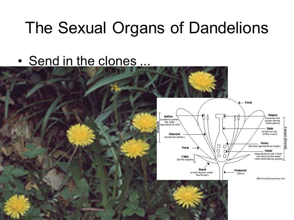 The Sexual Organs of Dandelions