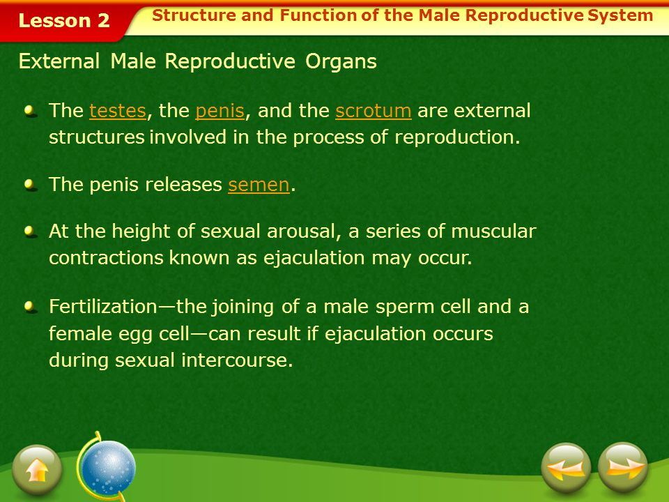 Structure and Function of the Male Reproductive System
