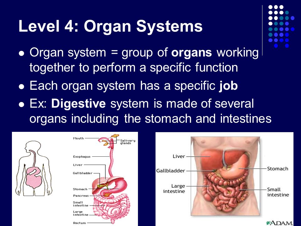 Level 4: Organ SystemsOrgan system = group of organs working together to perform a specific function.