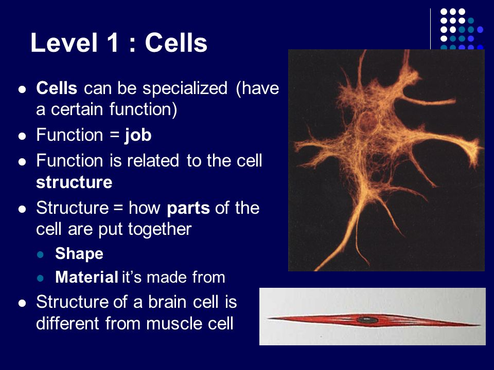 Level 1 : Cells Cells can be specialized (have a certain function)