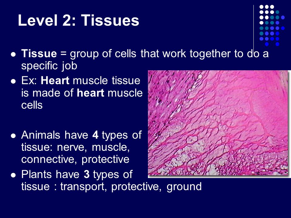 Level 2: Tissues Tissue = group of cells that work together to do a specific job.
