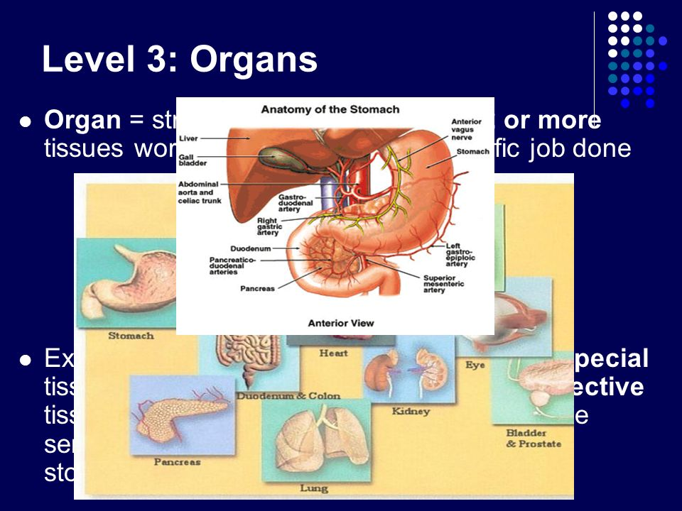 Level 3: Organs Organ = structure that is made up of 2 or more tissues working together to get a specific job done.