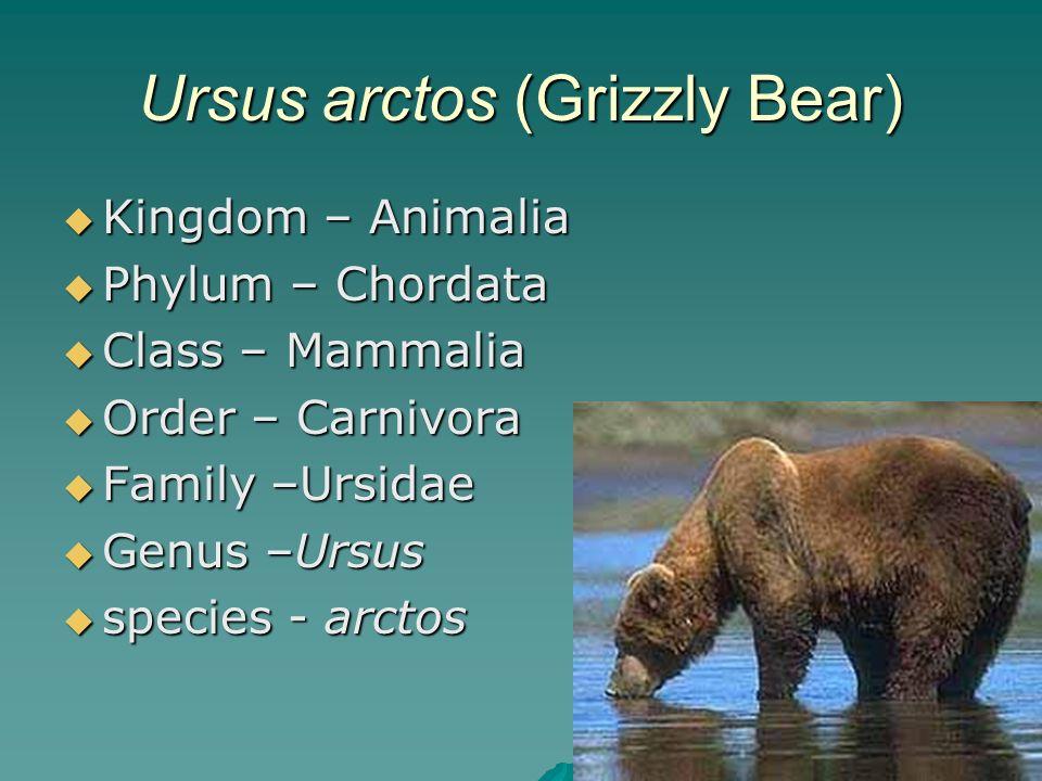 Ursus arctos (Grizzly Bear)