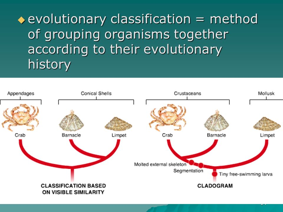 evolutionary classification = method of grouping organisms together according to their evolutionary history
