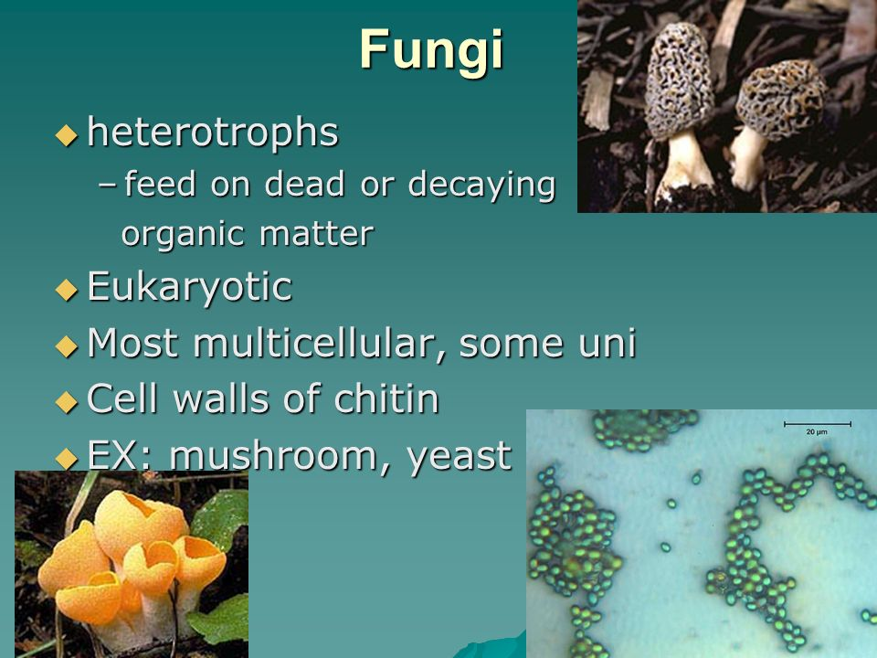 Fungi heterotrophs Eukaryotic Most multicellular, some uni