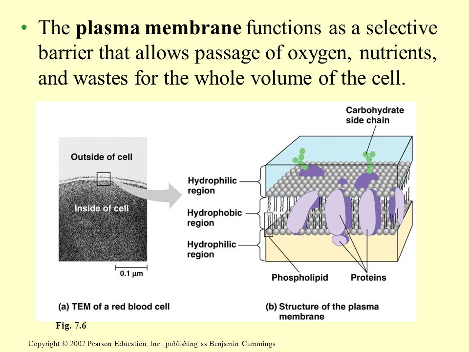 The plasma membrane functions as a selective barrier that allows passage of oxygen, nutrients, and wastes for the whole volume of the cell.