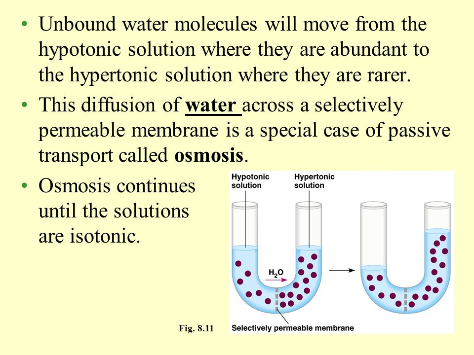 Osmosis continues until the solutions are isotonic.