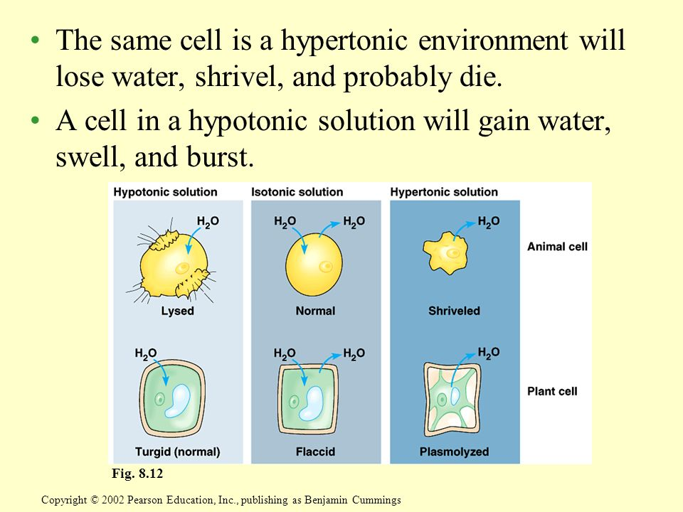 A cell in a hypotonic solution will gain water, swell, and burst.