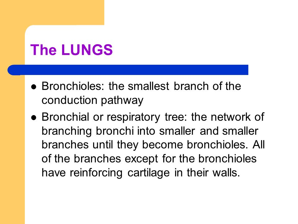 The LUNGS Bronchioles: the smallest branch of the conduction pathway