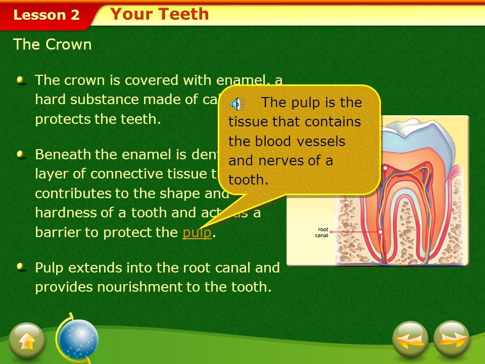 Your Teeth The Crown. The crown is covered with enamel, a hard substance made of calcium that protects the teeth.