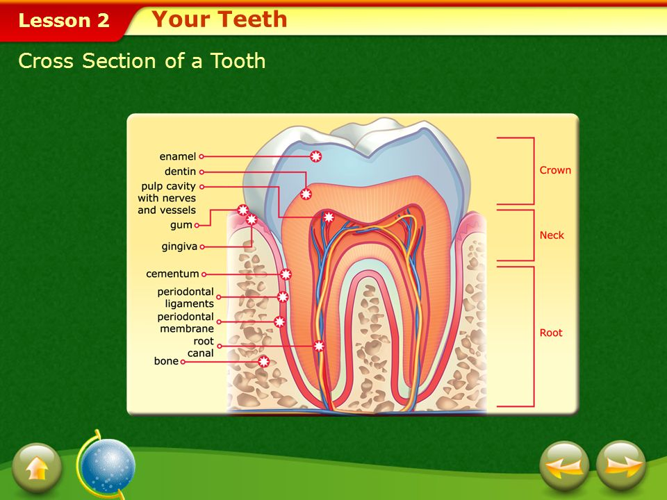Your Teeth Cross Section of a Tooth