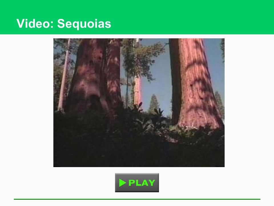 Video: Sequoias