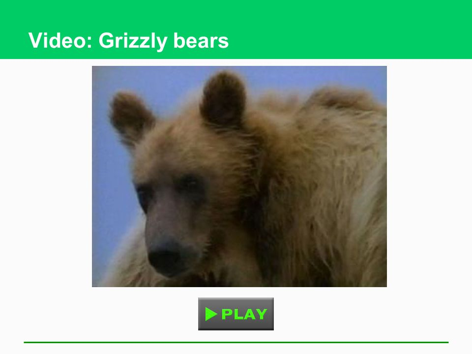Video: Grizzly bears