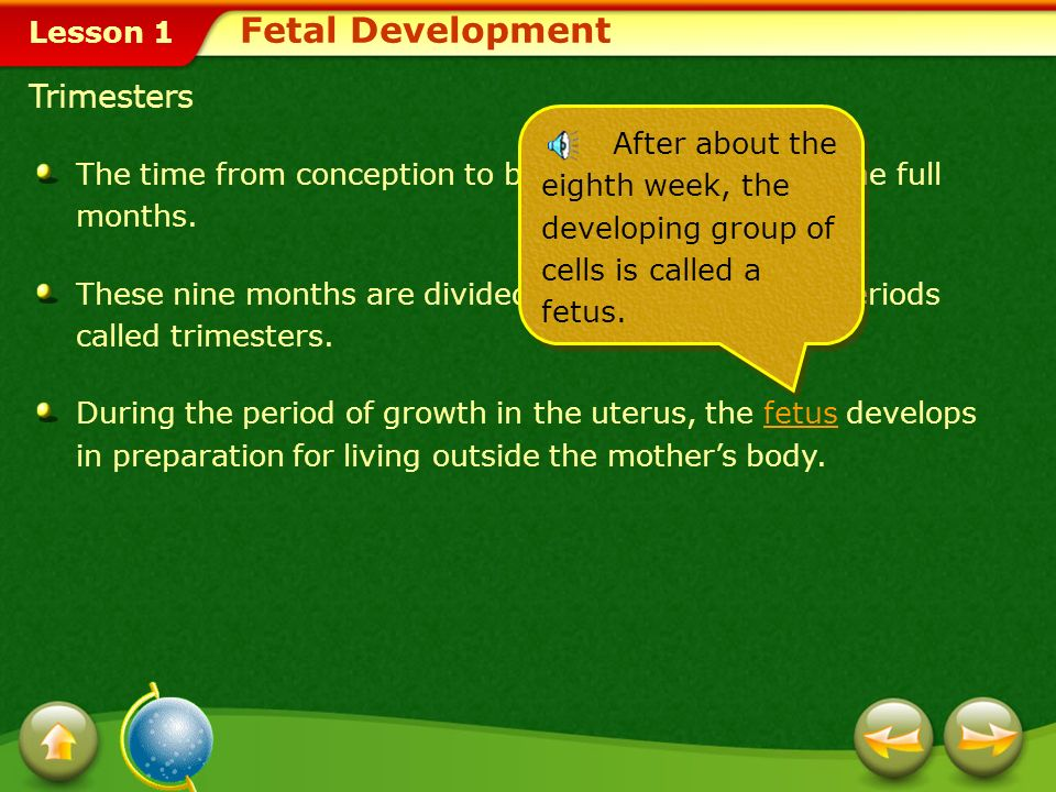 Fetal Development Trimesters