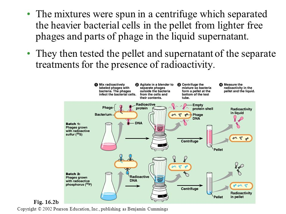 The mixtures were spun in a centrifuge which separated the heavier bacterial cells in the pellet from lighter free phages and parts of phage in the liquid supernatant.