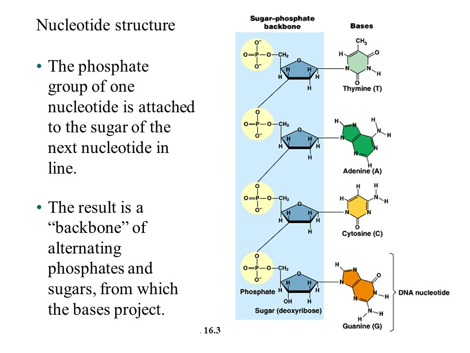 Nucleotide structure The phosphate group of one nucleotide is attached to the sugar of the next nucleotide in line.