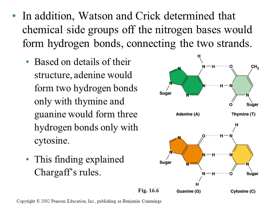 In addition, Watson and Crick determined that chemical side groups off the nitrogen bases would form hydrogen bonds, connecting the two strands.